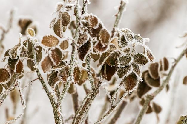 심한 서리 속에서 정원에 있는 식물의 서리 덮인 마른 잎