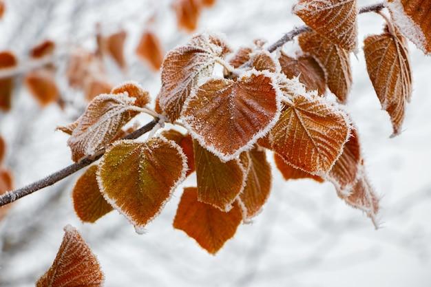 木の枝に霜で覆われた乾燥した葉。庭の凍るような朝