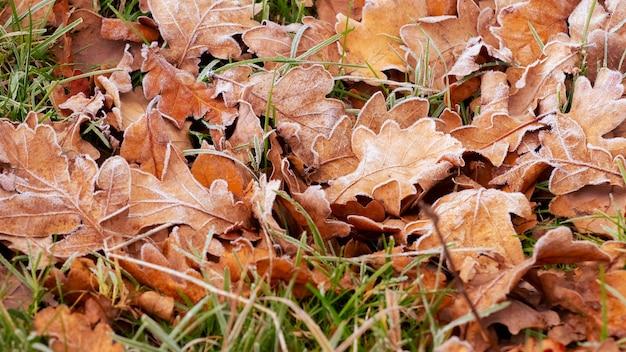 Покрытые инеем сухие дубовые листья на земле. опавшие осенние листья утром в мороз