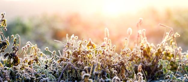 햇빛에 일출 동안 겨울 아침에 서리 덮인 마른 식물 줄기