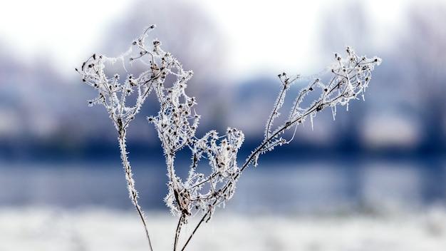 霜に覆われた植物の乾燥した新芽