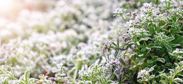 첫 번째 서리 동안 서리 덮인 푸른 잔디, 겨울 배경
