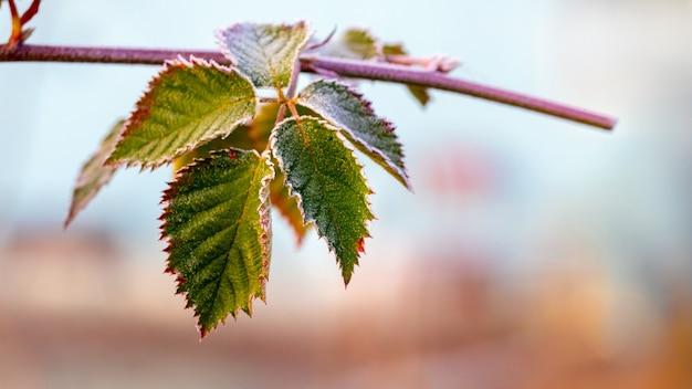 Покрытые инеем зеленые листья ежевики на кусте. поздняя осень, начало зимы