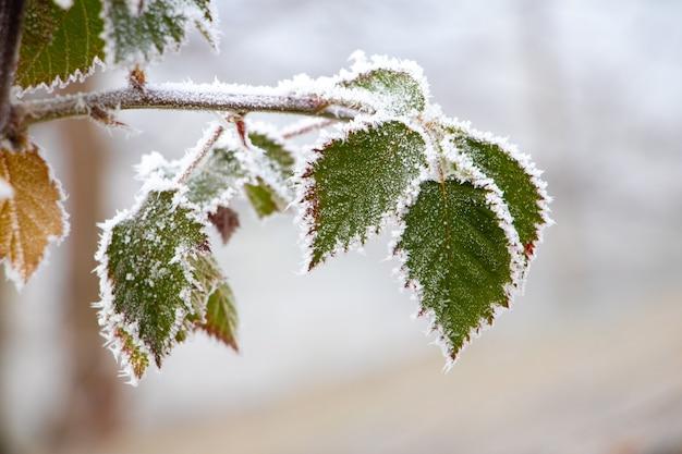 Покрытые инеем зеленые листья ежевики на кусте зимой на размытом фоне