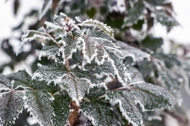 초겨울에 정원에 있는 관상용 식물의 서리 덮인 녹색 잎