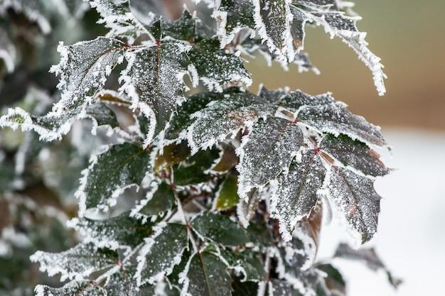 Замерзшие зеленые листья декоративных растений в саду в начале зимы