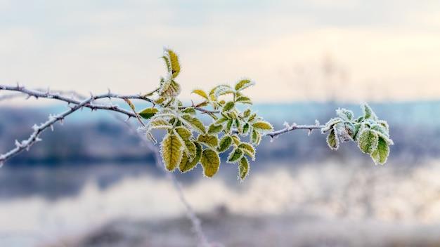 霜に覆われた緑のローズヒップの葉