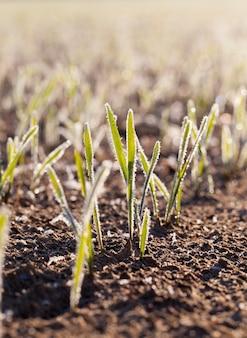 霜で覆われた小麦の緑の芽。被写界深度が浅いクローズアップ写真