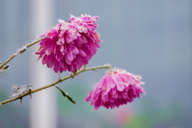 ぼやけた背景に霜で覆われたピンクの花