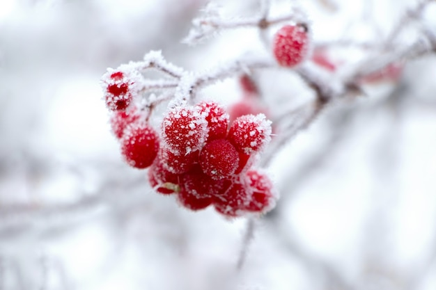 Покрытые инеем красные ягоды калины на светлом фоне