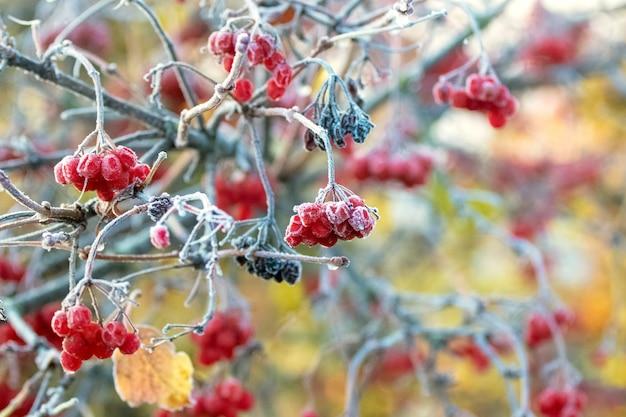 茂みのガマズミ属の木の霜に覆われた赤い果実