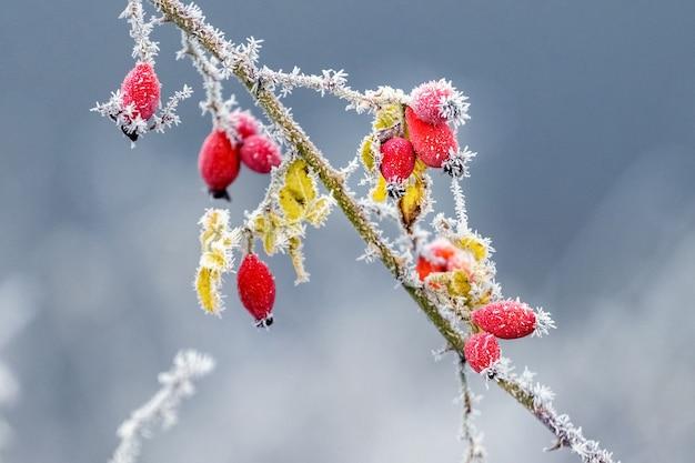 ぼやけた背景に霜で覆われた赤いバラの果実