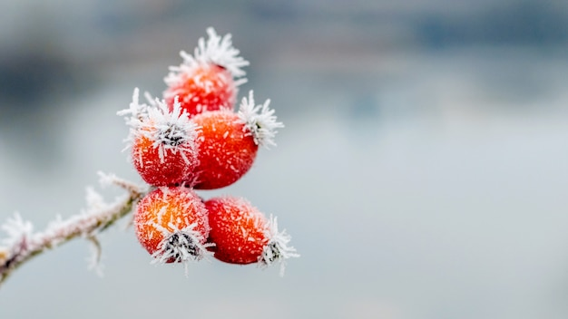 Frost-covered red rose hips on a blurred background