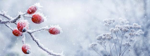 Покрытые инеем красные плоды шиповника на кусте с размытым фоном во время снегопада. зимний новогодний фон