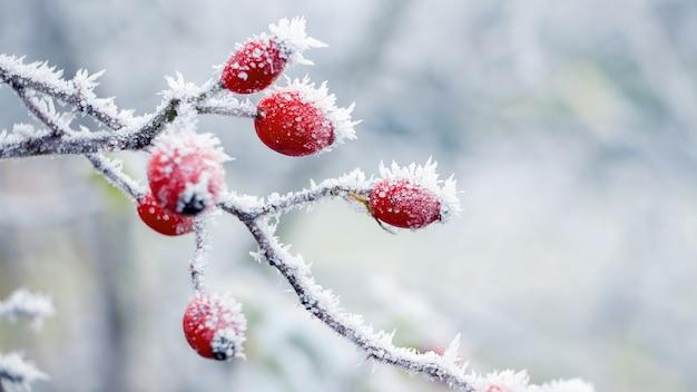 Покрытые инеем красные плоды шиповника на кусте с размытым фоном