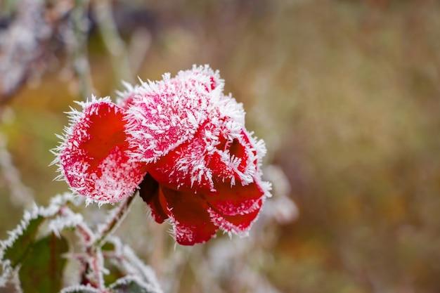 Покрытая инеем красная роза в саду осенью или в начале зимы