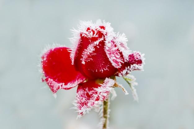 水色の背景に霜で覆われた赤いバラ