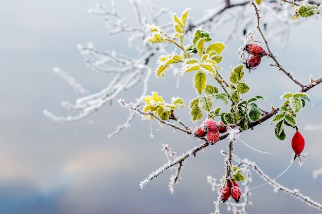 Frost-covered rose hip branch with berries and leaves