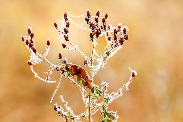 ぼやけた背景に垂れ下がったベリーと霜で覆われたローズヒップの枝