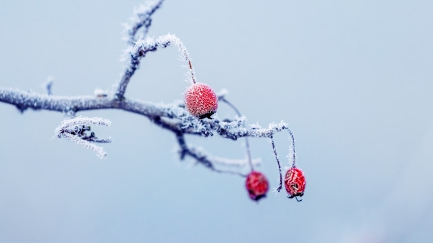 Покрытая инеем ветка шиповника с красными ягодами