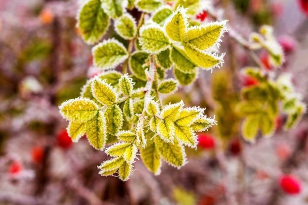 霜に覆われたローズヒップの葉
