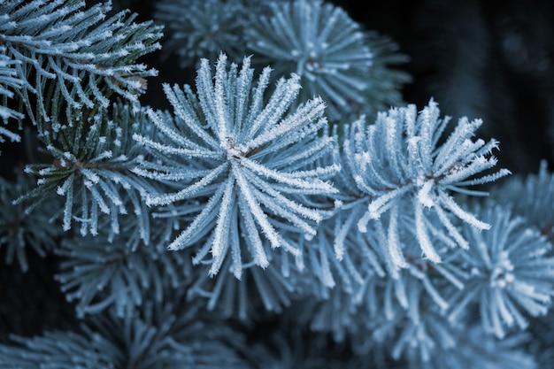 暗い背景、クリスマスの背景に霜で覆われたトウヒの枝