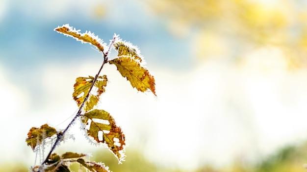 霜に覆われた木の枝、光に乾いた葉
