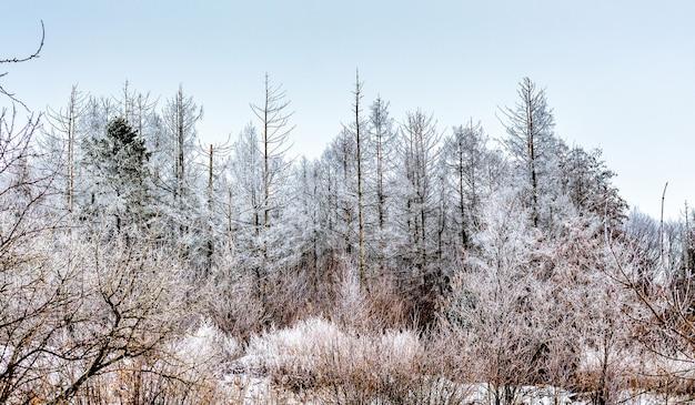 冬の森の霜で覆われた木。冬の風景_