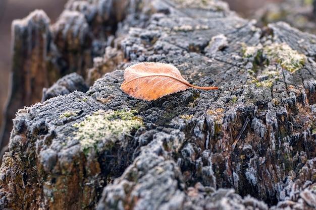 Замерзший засохший лист на старом пне в зимнем саду