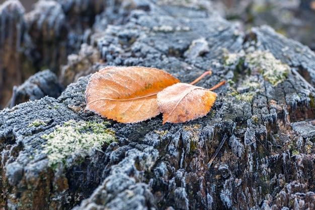 Замерзшие засохшие листья на старом пне в зимнем саду