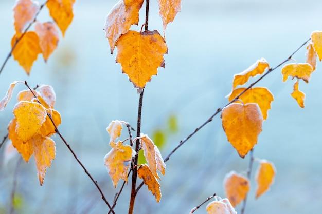 水色の背景に霜で覆われた黄色の白樺の葉