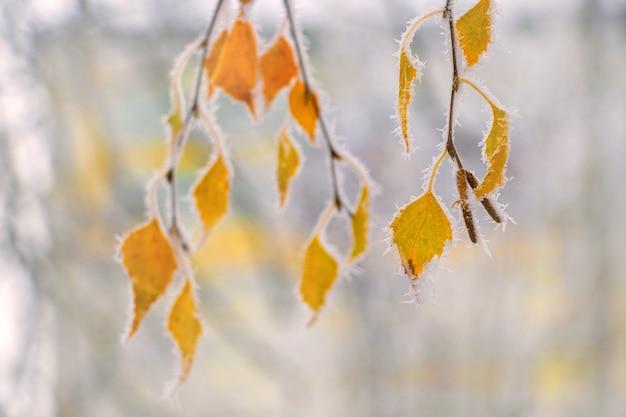 明るいぼやけた背景に霜で覆われた黄色の白樺の葉