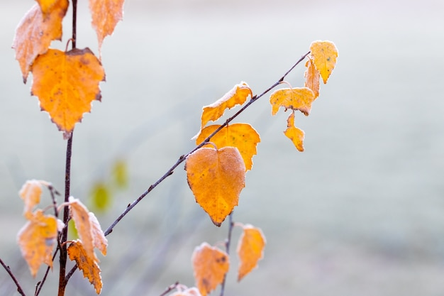 木に霜で覆われた黄色の白樺の葉