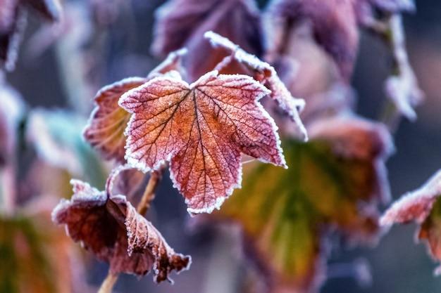 茂みの庭のフロスト ドライのカシスの葉