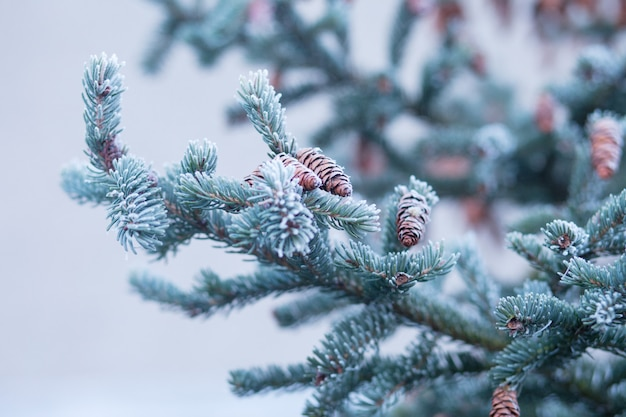 Frost on fir bumps and branches. autumn or winter time