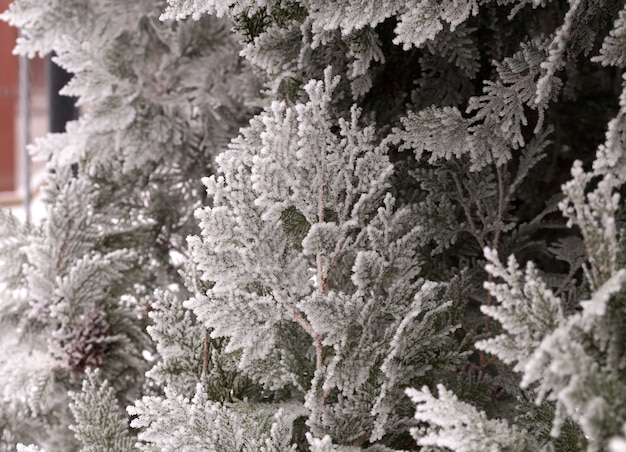 Frosted branch of the thuja tree in the city park of volgograd