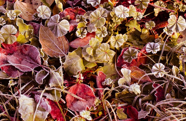 Frosted dry autumn leaves. early winter nature.
