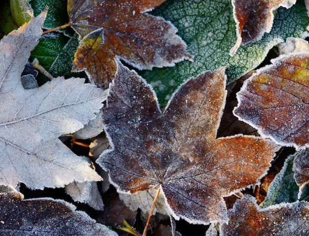 Frosted dry autumn leaves.
