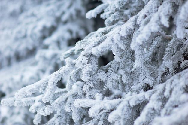 Frosted fir needles