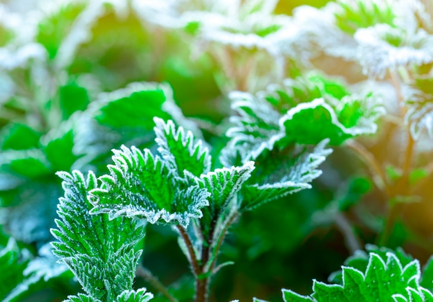 Frosted green leaves in the morning with sunlight. beautiful frost on green leaves in garden.