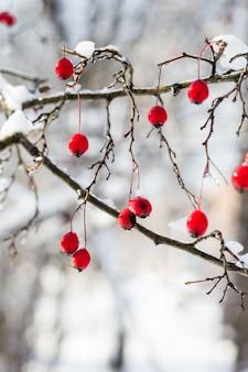 庭の木に雪の下で赤いサンザシのつや消しの果実