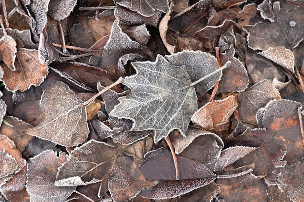 Frosty dry brown leaves, autumn texture background.