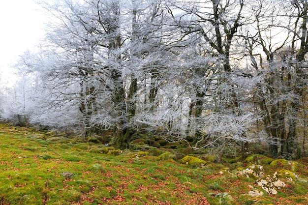 苔むした岩と芝生の地面がある凍るような森