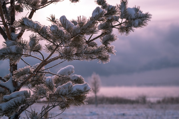 Frosty morning in the winter forest. snowy pine branch against the background of frosty dawn.