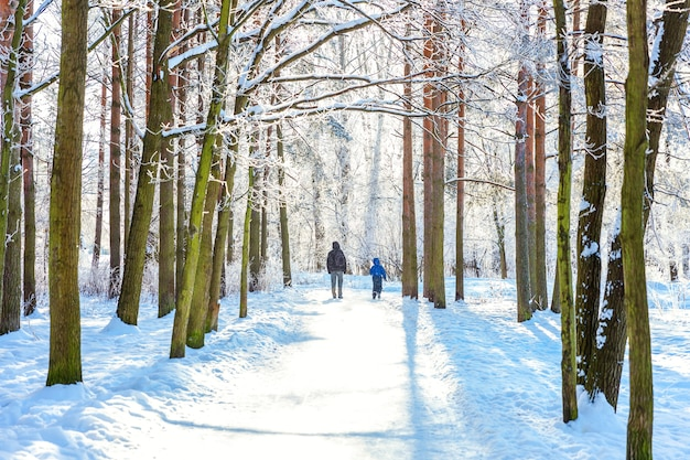 Frosty trees in snowy forest, cold weather in sunny morning in winter park
