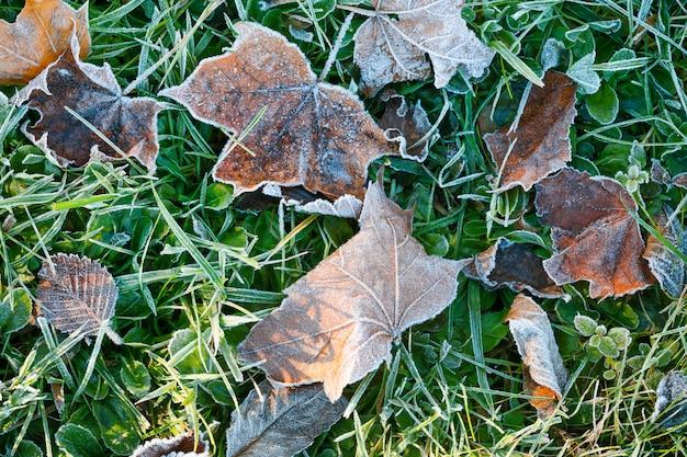 Frozen autumn maple leafs. hoar-frost. top view, copy space.