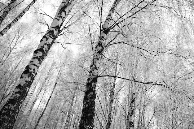 Frozen birch tree branches black and white