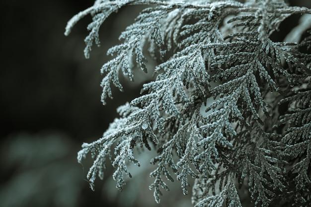 Замороженные ветки ели ранним морозным утром.