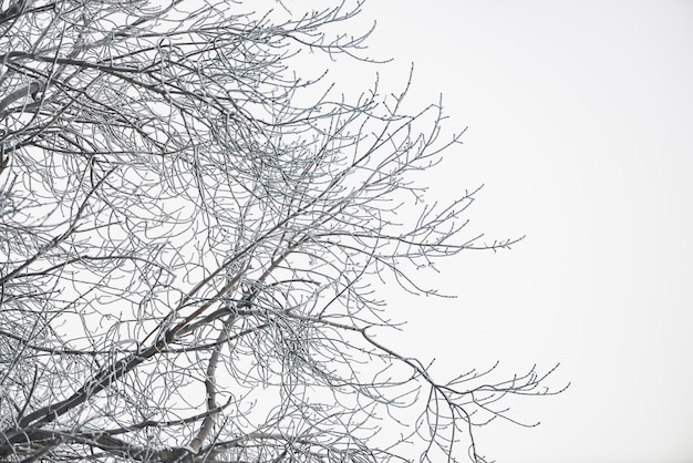Frozen branches on white sky