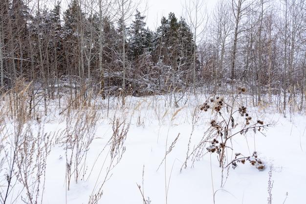 배경 눈에 냉동된 우엉 식물입니다. 겨울 풍경입니다.